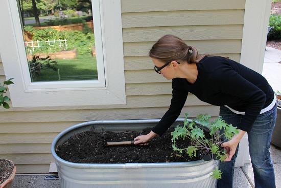 planting-kale