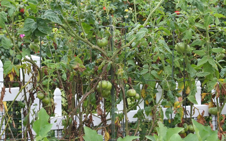 Fungus damaged tomatoes...slim pickin's.