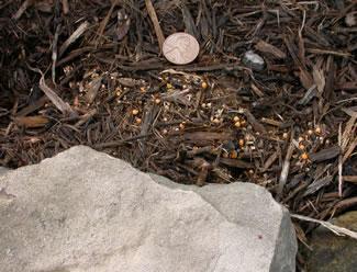 artillery fungus growing in wood mulch