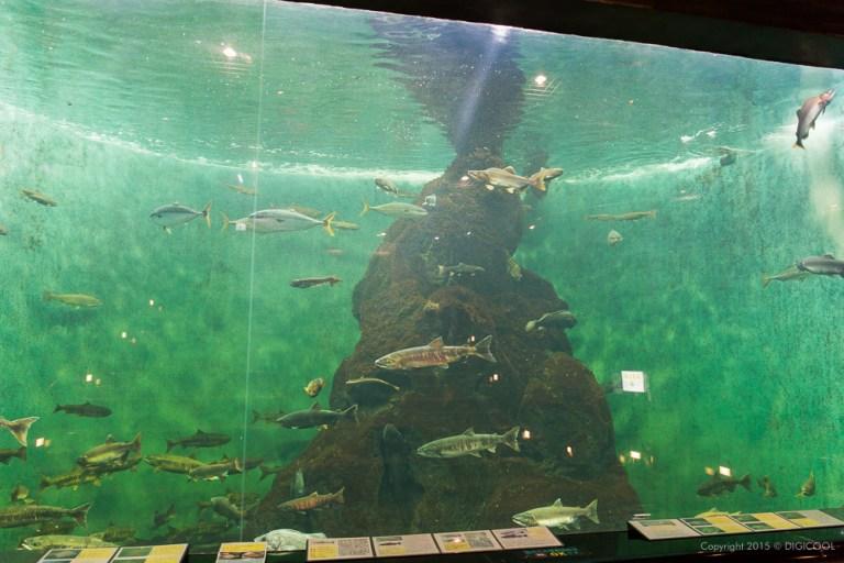 鮭の水族館