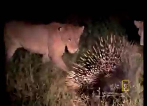 百獣の王ライオンよりもヤマアラシの方が強い?