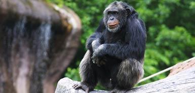動物園のチンパンジーが密かに石を集め、来園したお客に石を投げつけて攻撃するようになる