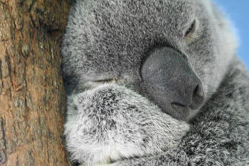 オーストラリア、人間によるストレスが原因の病でコアラが絶滅の危機に