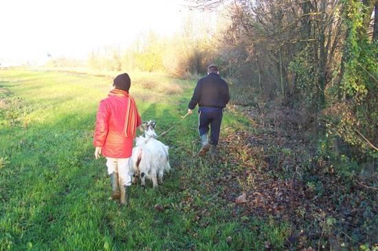 passeggiata con le capre