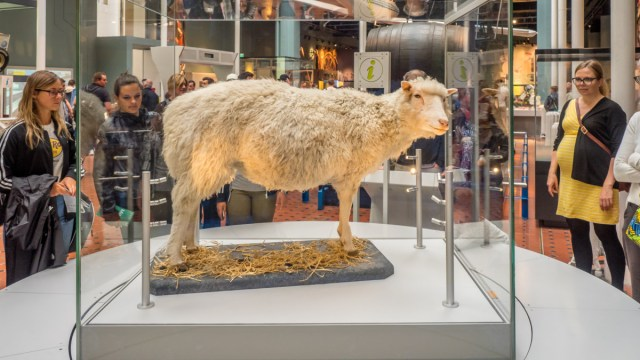 Dolly the Sheep's taxidermy remains