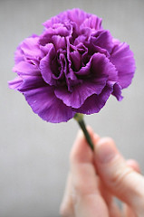 Purple Carnation (by Bumblebee Bruin)