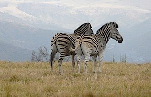 Digital SLR vs Digital Super-Zoom Cameras on Safari