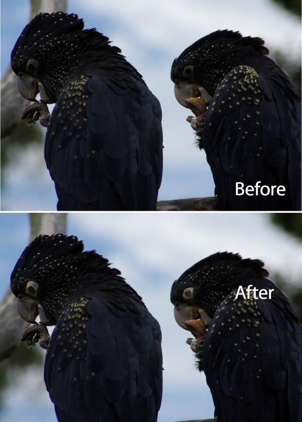 Fixing Animal Eyes in Lightroom
