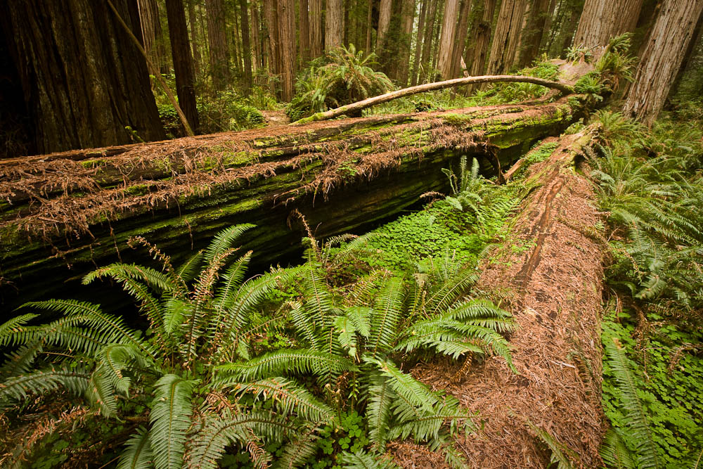 Fallen Redwoods, Stout Grove, Jedediah Smith State Park, California.  Image Copyright Joe Decker