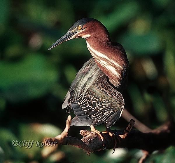 Cliff Kolber_Green Heron 9.jpg