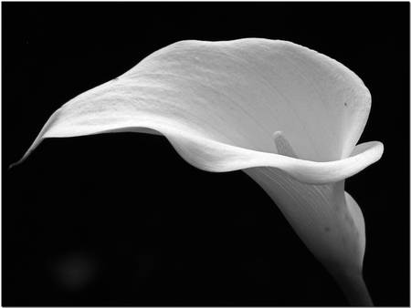 Calla Lily by Chris Anderson