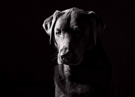 Sad Labrador by Justin Paget