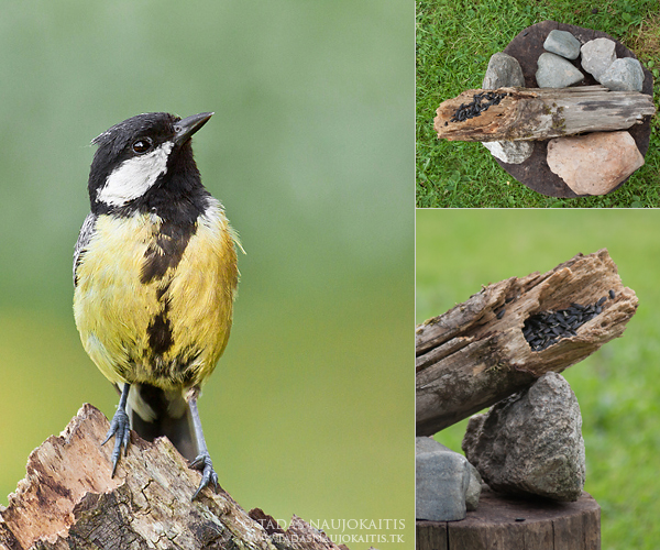 Image: Here you can see the photo of Great Tit and how it was made.