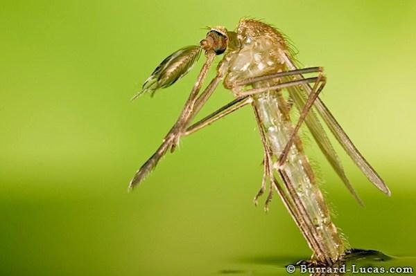 hatching_mosquito.jpg