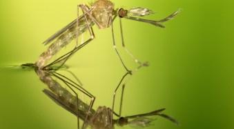 Macro Photography: Mosquitoes Emerging