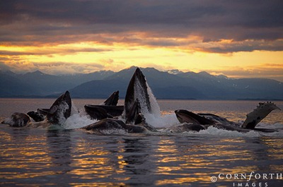 USA, Alaska, Chatham Strait, Humpback whales (Megaptera novaeangliae) bubble-feeding at sunset