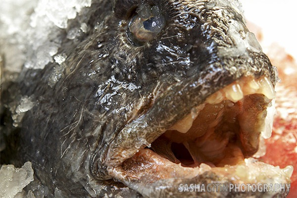 angle-6_wolf-fish.jpg