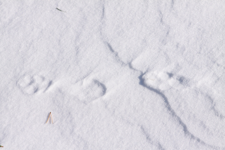 Image: Snow covered fox tracks