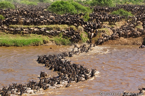 Photographing a Wildebeest Migration