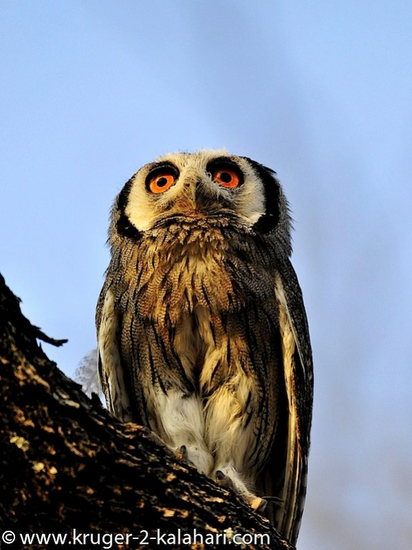 Etosha-White-faced-scops-owl_in-HalaliCamp.jpg