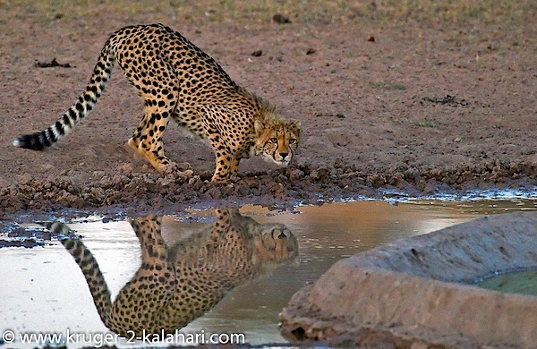 Kgalagadi-CheetahCub-drinking-at-UrikaruusCamp.jpg