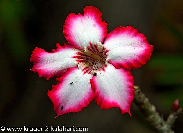 Kruger-Impala Lily-ShingwedziCamp.jpg
