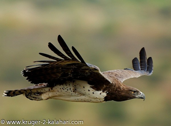 Kruger-Martial Eagle-OlifantsCamp.jpg