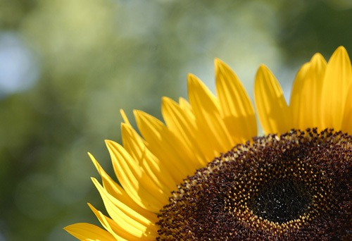 3-Sunflower.jpg