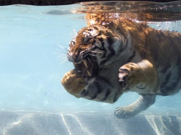 Image: Tiger Shark? - Copyright David Blaikie