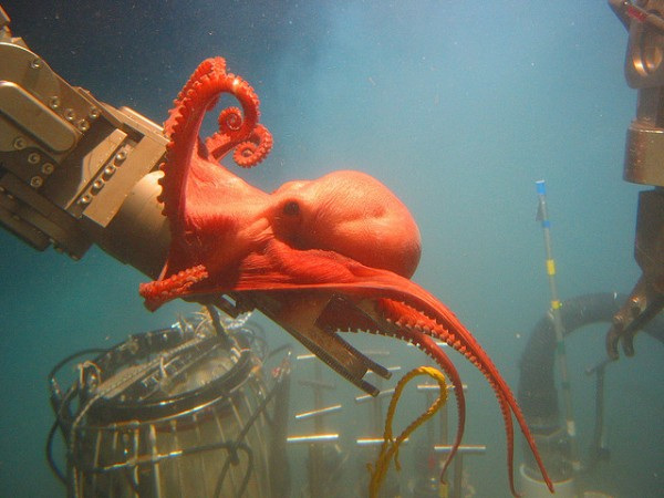Image: Octopod interference with expedition - Copyright NOAA Ocean Explorer