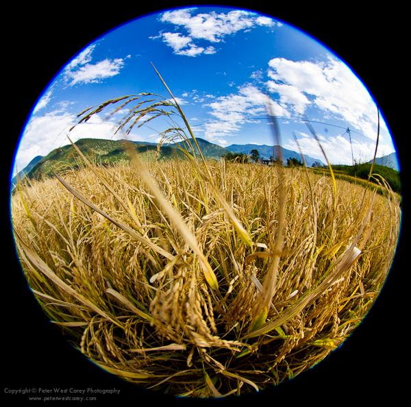 Image: Rice Field, Punakha, Bhutan
