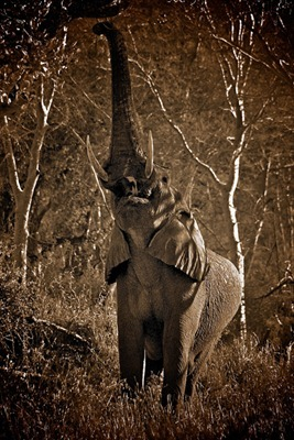 On our morning game drive we came across the big bull reaching for a branch  for breakfast.  I liked the unusual perspective of this shot.  I like this shot because of it's unusual perspective