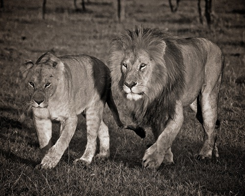 Lions of Krueger NP