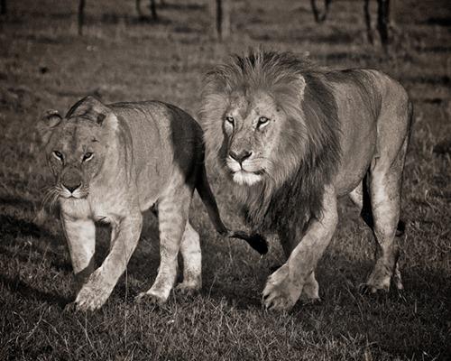 Lions of Krueger NP