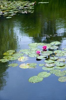 Monet's lilypads