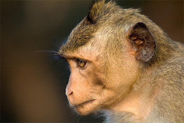 angkor-wat-monkey