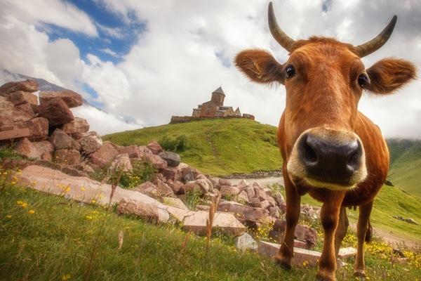 7_Cow Near Kazbegi.jpg