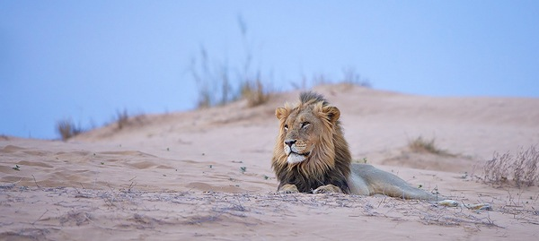 a wildlife photography example of a lion on a dune