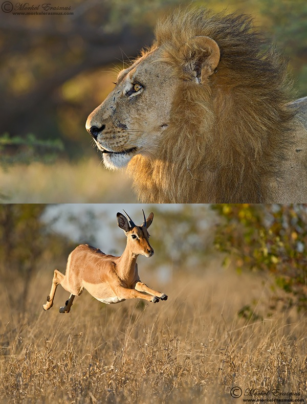 a lion (above) and a leaping impala (below)