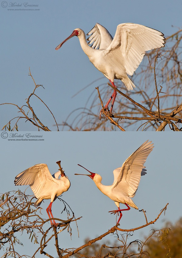 spoonbills in the trees; the more the merrier wildlife photography tip