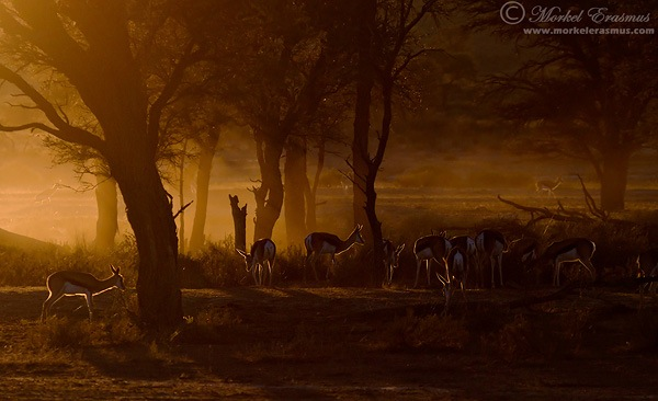 backlit sprinboks at dawn