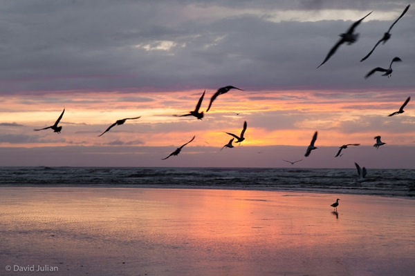 Gulls at sunset Oregon 293