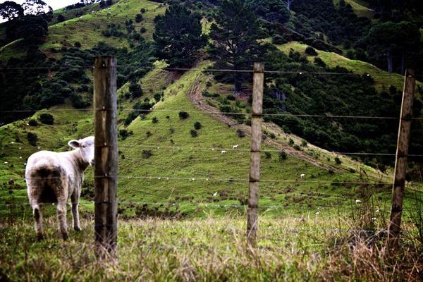 Fields of lamb
