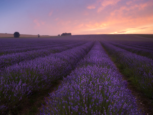 Lavender field at sunrise presented in a 4:3 aspect ratio