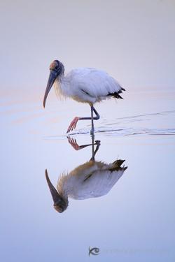 Woodstork at the Ding Darling Wildlife Refuge, Florida.