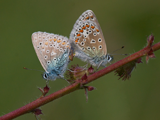 Common Blue butterflies, mating (Polyommatus icarus)