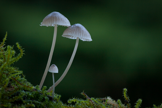 Milking Bonnet Fungi (Mycena galopus)