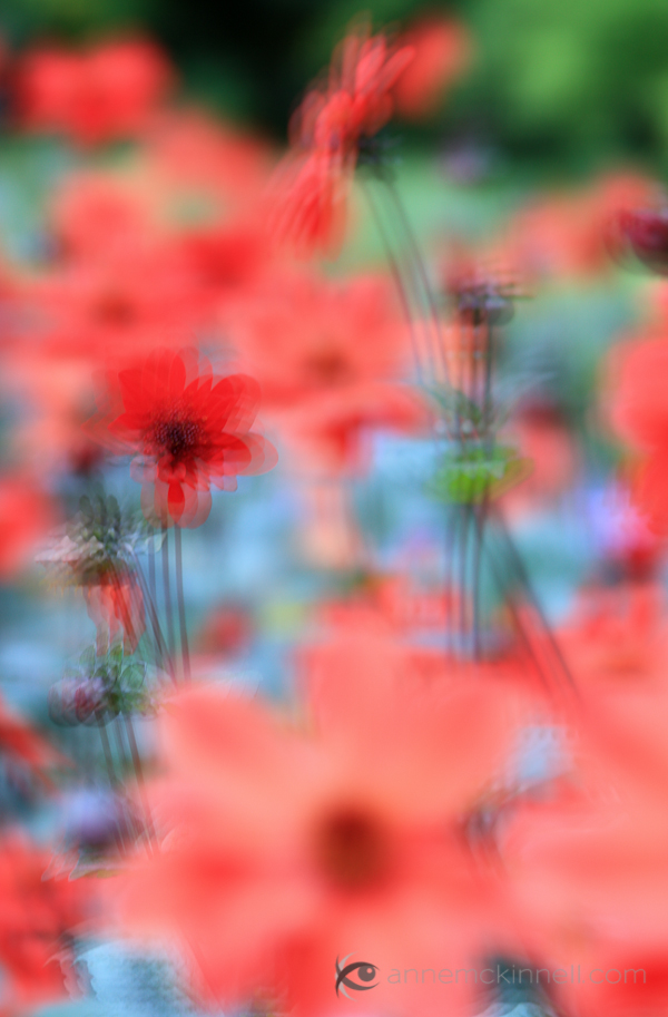Red Flowers with Multiple Exposure Effect