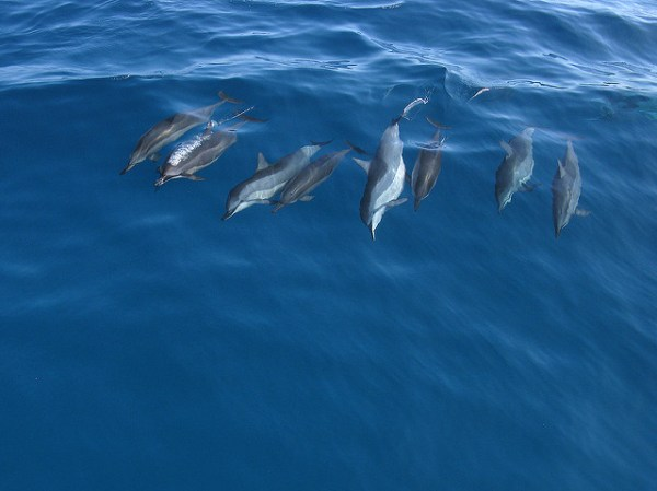Spinner-Dolphins-5680
