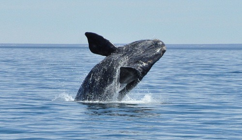 Right Whale Breeching